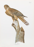 Florida Red Shouldered Hawk Collectable Print by Sean Bollar