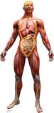 Anatomy Muscles, Tendons & Organs Lifesize Standup Cardboard Cutouts