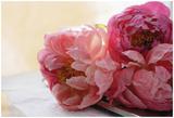 Peonías rosas Lámina