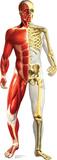 Anatomy Half Muscle Half Skeleton Lifesize Standup Cardboard Cutouts