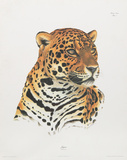 Jaguar Collectable Print by Sean Bollar