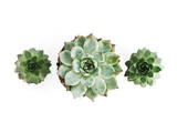 3 Succulents Photographic Print by Romina Bacci