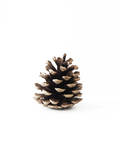 Pinecone 2 Photographic Print by Romina Bacci