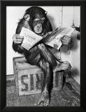 Scimpanzé che legge il giornale Stampa fotografica incorniciata di  Bettmann