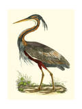 Purple Heron Prints by John Selby