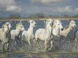 White Horses of the Camargue Photographic Print by  PHBurchett