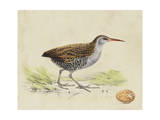 Meyer Shorebirds III Prints by H. l. Meyer