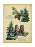 Douglas Fir and White Fir Posters