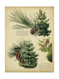 Red Pine and Eastern White Pine Print