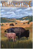 Bison And Calf Grazing - Yellowstone National Park Prints