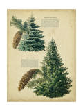 Colorado Blue Spruce &Norway Spruce Prints