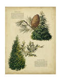 Deodar Cedar and Eastern Red Cedar Prints