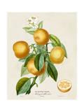 French Orange Botanical III Affiches par A. Risso