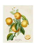French Orange Botanical III Posters van A. Risso