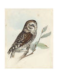 Meyer Little Owl Posters by H. l. Meyer