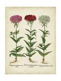 Besler Florilegium IV Posters by Basilius Besler