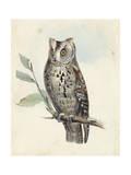 Meyer Scops-Eared Owl Prints by H. l. Meyer
