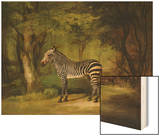 A Zebra, 1763 Wood Print by George Stubbs