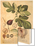 Ficus (Fig) (Coloured Engraving) Posters by Georg Dionysius Ehret