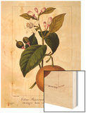 Sweet Orange: Citrus Sinensis Var. Bigaradia Violacea, 1836 Wood Print by Pancrace Bessa