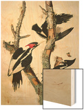 "Ivory-Billed Woodpecker, from ""Birds of America,"" 1829 Wood Print by John James Audubon"