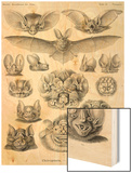 Bats Print by Ernst Haeckel
