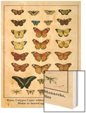 Blues, Calypso Caper Whites, Plain Tigers, Monarchs, Mimic or Danaid Eggflies, Caddis Flies Wood Print by Albertus Seba