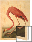 American Flamingo Art by John James Audubon
