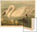 Common American Swan Prints by John James Audubon