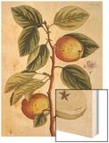 Apple Tree (Malus Sativa), 1739 Wood Print by Elizabeth Blackwell