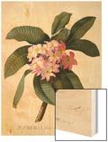 Botanical Print of Frangipani Wood Print by Johann Wilhelm Weinmann
