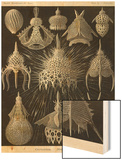 Radiolaria Wood Print by Ernst Haeckel