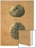 Vintage Linen Sea Urchin Posters