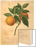 Citrus aurantium Wood Print by Antonio Targioni-Tozzetti