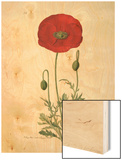 Papaver rhoeas Wood Print by John Curtis