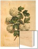 Gelder Rose Wood Print by Charles Joseph Hullmandel