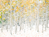 Quaking Aspens Prints by Shelley Lake