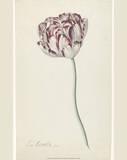 Louis Moritz, Tulip (1850) Posters by Louis Moritz Moritz