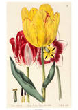 Pubescent-Stalked Tulip (1823 - 1829) Prints by  E. Dalton Smith & Robert Sweet