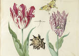 Two Tulips, a Shell, a Butterfly and a Dragonfly, c. 1637-1645 Prints by Jacob Marrel