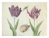 Two Tulips, a Shell and a Grasshopper, c. 1637-1645 Prints by Jacob Marrel