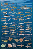 Sharks And Kin Plakater