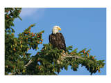 Perched Eagle Póster