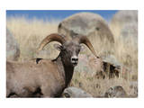 Big Horn Sheep Yellowstone Posters