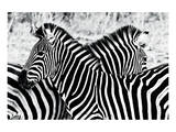 Zebras at Dawn Prints