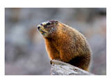 Yellow Bellied Marmot Posters