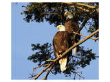 Perched Eagles Posters