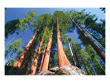 Sequoia National Park I Prints