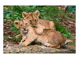 Couple of Lion Cubs Prints