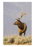 Bull Elk Yellowstone Natl Park Prints